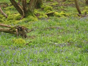 Bluebells in the woods above Trevor