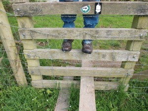 A disincentive for the older rambler. 5 horizontal bars; metal wire mesh. and the pernicious barbed-wire under the top rail! The farmer presumably is breeding the legendary Superwelshlamb - it can squeeze through a five inch gap and leap over 4 foot!
