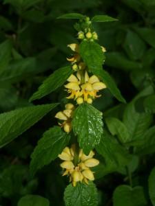 Yellow archangel (Lamiastrum galeobdolon) in Bettws Dingle
