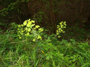 Euphorbia by the side of the path, King's Wood