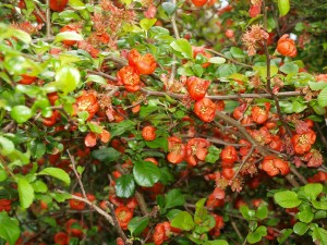 Chaenomeles (flowering quince) growing in the wild