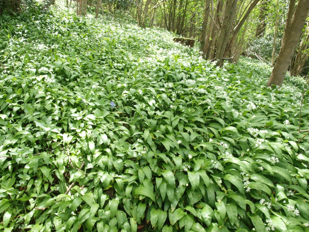 Wild garlic in woodland above The Wye