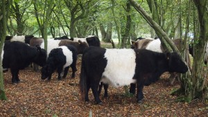 Belted Galloways on Crickley Hill