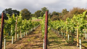 Vineyard above Stonehouse