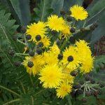 Somchus hierrensis - giant dandelions!